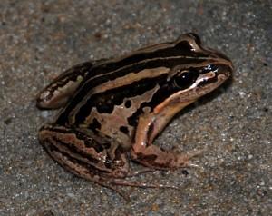 Striped marsh frog image