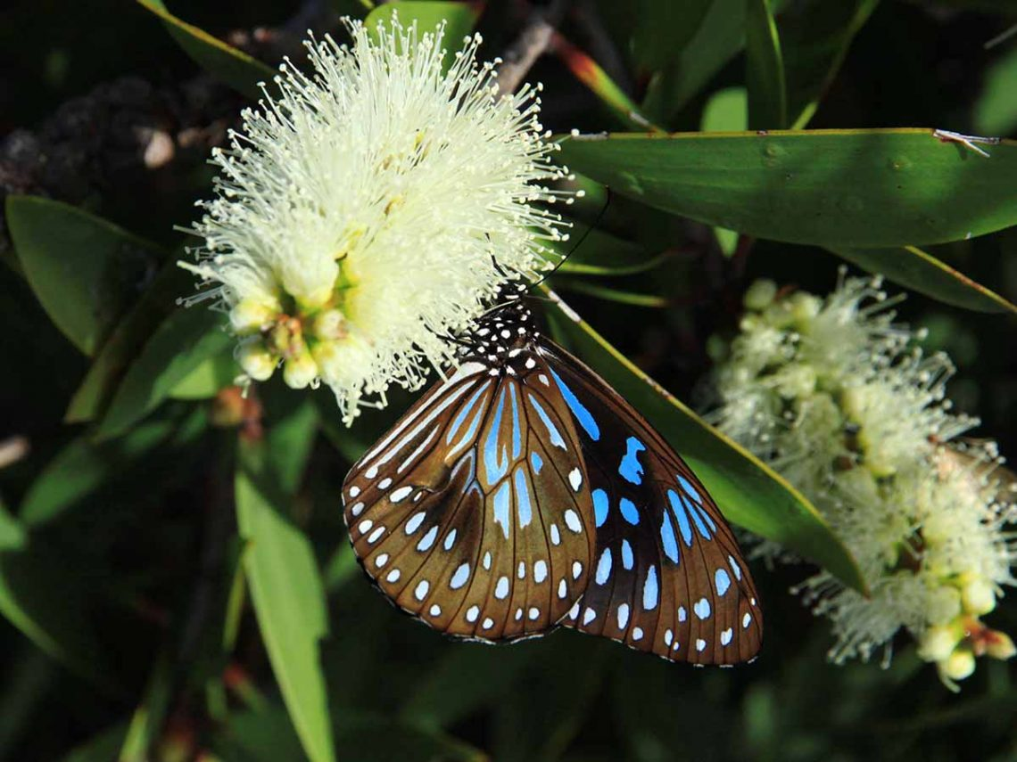 Image of Blue Tiger butterfly and flower